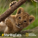 World Lion Day: High-Five, Give $5, and Save Big Cats #5forBigCats