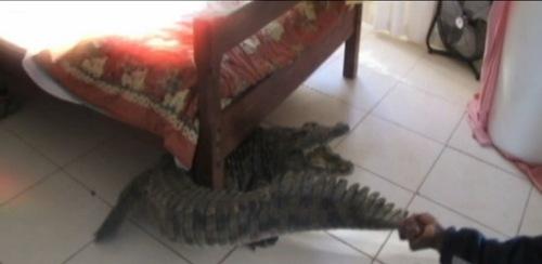 crocodile under bed 2