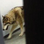Katen Hansen Shares Video of a 'Wolf' in Her Hotel #SochiProblems