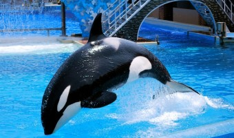 SeaWorld Ends Orca Shows – Killer Whales Retire From Shows But Not The Parks