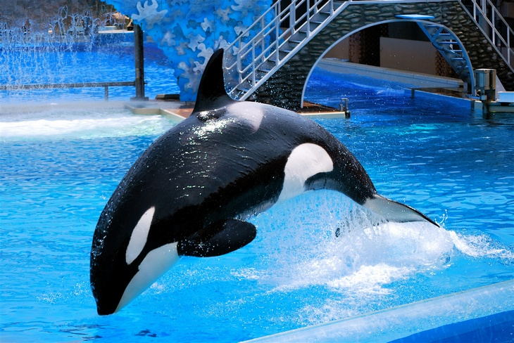 Seaworld Ends Orca Shows Killer Whales Retire From Shows